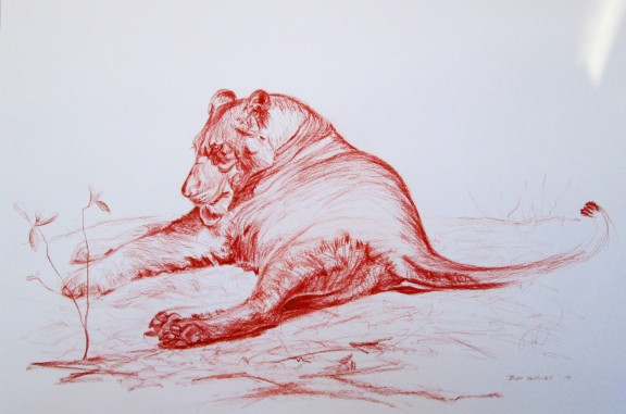 Young Female Lion. Botswana, Africa