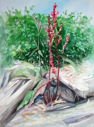 Persicaria Maculosa, Watercolor and pencil