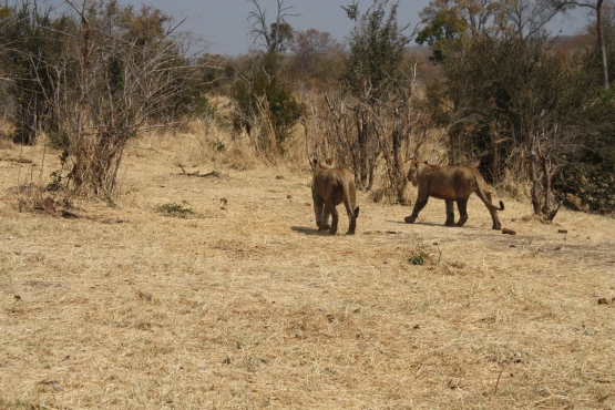 Walking in the bush with lions.