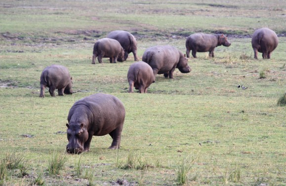 What do you call a herd of Hippo's?