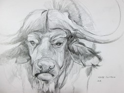 Cape Buffalo in Chobe National Park, Botswana. Pencil Sketch
