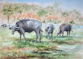 Cape Buffalo, Botswana