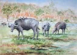 Cape Buffalo grazing near the Chobe River, Botswana