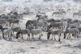 Zebra Herd, Etosha Pan, Namibia