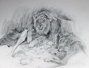 Young male lions guarding their kill. There is a good chance they didn't kill this animal but stole it. Pencil Drawing
