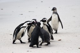 Adelie Penguins, South Africa