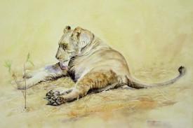 Female Lioness, Botswana
